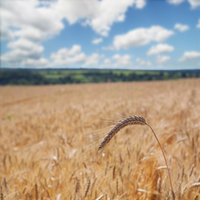 wheat field with gluten which causes celiac